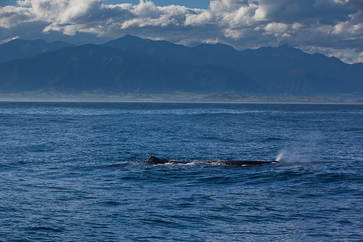 sperm-whale-kaikoura-new-zealand