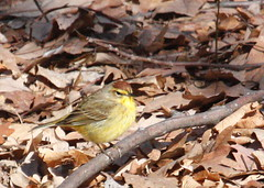 Palm Warbler (Tombo Pixels) Tags: bird canon newjersey nj palm warbler garretmountain palmwarbler twb1 garret110210