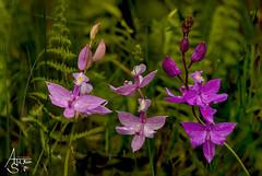 grass pink, calopogon tuberosus (ats8110) Tags: grasspink calopogontuberosus michigan native wild orchids d700 nikon