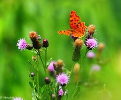 Comma (havans) Tags: butterfly vlinder aurelia distel