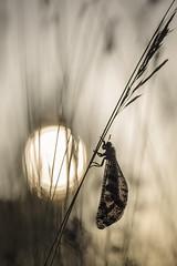 Grand fourmilion. (bertolinijacques) Tags: macro proxy insectes grandfourmilion contrejour nature france cévennes ardèche stpaullejeune