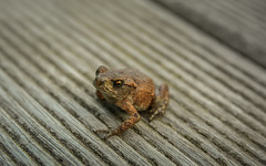 frog 8701jpg (EB_Creation) Tags: frog nature outdoor outside reptile nikon d7100 sigma