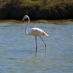 Flamingo (rjmiller1807) Tags: flamingo pink bird avian aves capetown woodbridgeisland woodbridge water lake vlei pretty legs milnerton nature beautiful 2017 southafrica march beak