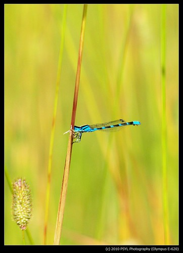 Bluet (Enallagma spp.)