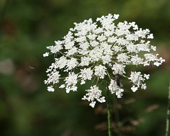 Queen Anne's lace (Bill'sLIPhotos) Tags: wild white mountain plant ny newyork flower nature canon bug eos rebel fly labrador july tully daucuscarota carota queenanneslace 2010 xsi daucus wildcarrot 450d 55250 canon450d efs55250 canonxsi