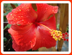 Sparkling hibiscus (Trinimusic2008 - stay blessed) Tags: red toronto ontario canada flower macro nature flickr blossom hibiscus stamen raindrops to containergardening natureselegantshots waterdropsmacros trinimusic2008 happybirthdaytohazel