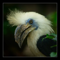 (Di_Ber) Tags: nikon nederland thenetherlands 70200 hornbill avifauna birdpark d700