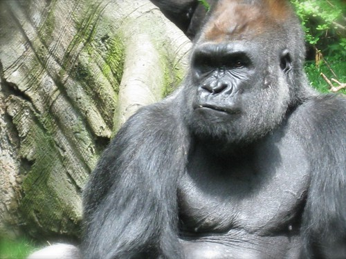 a majestic gorilla at the Bronx Zoo