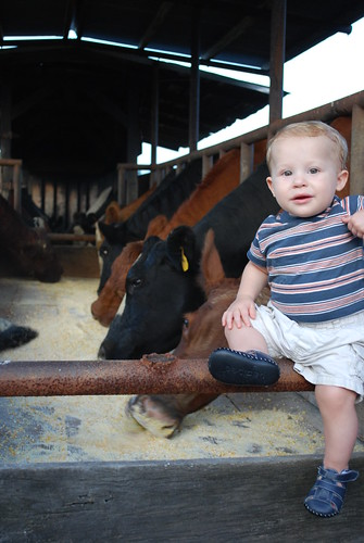 Liam checking out the cow!