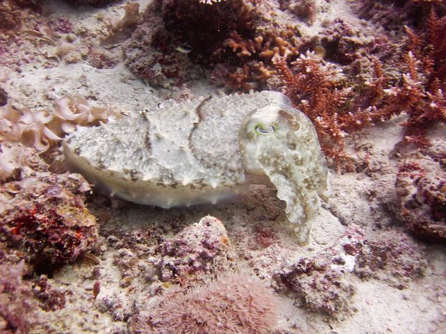 Cuttlefish, Kapalai Island, Malaysia