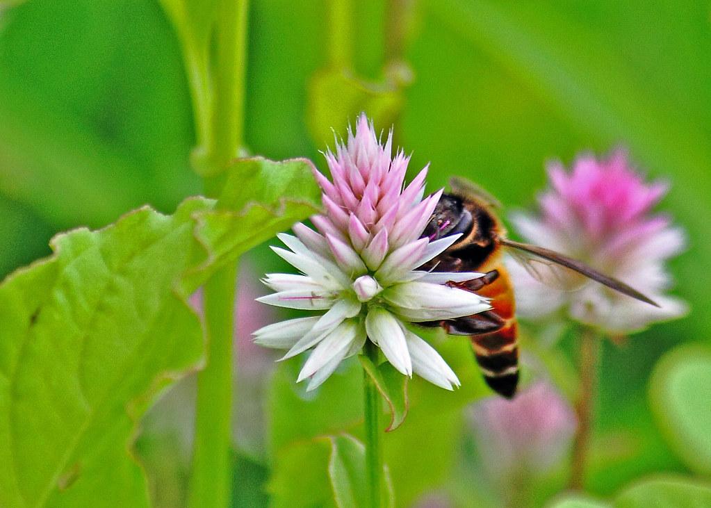 IMG_2010_07_18_1738 Bee crop