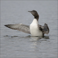 Stretching my wing… (NaPix -- (Time out)) Tags: portrait baby lake canada reflection nature swim fly wings action wildlife soon loon streatching napix