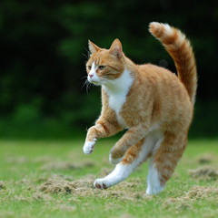 Muffi (Mats&Muffi) Tags: orange pet cats pets animal cat orangecat nikon tabby kitty d200 muffi cc100 101116