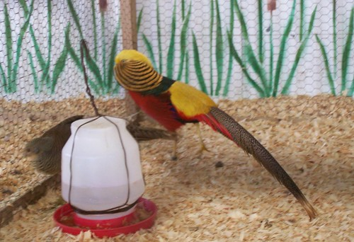 aug 235 Male golden pheasant