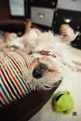 Snooze (Gomerama) Tags: dogs westie australia canine bonnie tasmania westhighlandwhiteterrier hobart 2010 gomerama bonniethewestie