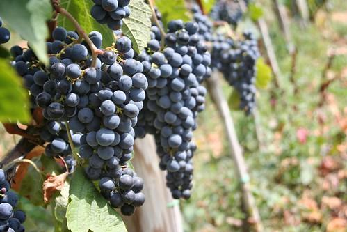 Grapes at the Blasi Vineyard