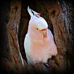 Major Mitchell's Cockatoo (rogersmithpix) Tags: birds melbournezoo cockatoo australianbirds pinkcockatoo cacatualeadbeateri featheryfriday majormitchellscockatoo leadbeaterscockatoo australiancockatoos southaustralianbirds melbourne2010
