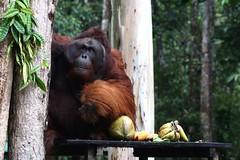 Borneo (Globetreka) Tags: nature wildlife malaysia borneo orangutan wildanimals flickraddicts finegold southeastasiaimages earthasia fabulousplanet mygearandme mygearandmepremium trulyasisa