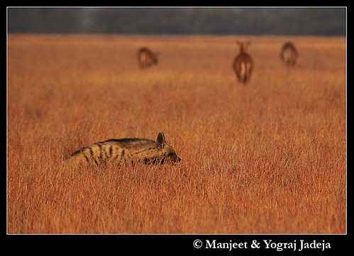 The Striped Hyena with nilgai feeding in background