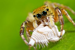 Jumper with treehopper prey (pbertner) Tags: scale insect macrolife