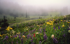 not quite paradise, but maybe even better (manyfires) Tags: morning flowers trees summer mountain lake green film fog clouds forest landscape washington nationalpark nikon moody hiking pacificnorthwest wildflowers mtrainier fm lupine indianpaintbrush fujivelvia tipsoolake
