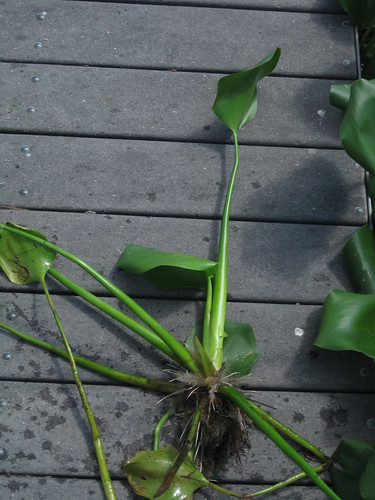 WaterHyacinth2