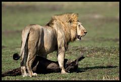 brute strength! (A.M.G.1) Tags: africa andy nature southafrica kenya african wildlife lion bigcats masaimara big5 goodman malelion wildebeastmigration amg1 wildlifesouthafrica bfgreatesthits amgoodman flickrbigcats