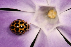 Lady beetle (kasia-aus) Tags: blue flower nature bug insect beetle australia spots ladybird ladybug canberra ladybeetle act melba 2010