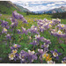 Colorado State Flower Postcard