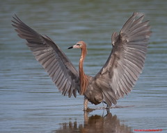 Reddish Egret Running Across Mud Flat Ding Darling National Wildlife Refuge (kevansunderland) Tags: redhead sanibelisland egret shorebirds wildbirds wadingbird reddishegret birdphotography coth supershot floridabirds birdsfishing specanimal avianexcellence thewonderfulworldofbirds dancingegret coth5 dingdarlingnaitonalwildliferefuge