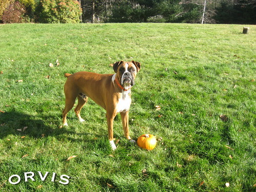 Orvis Cover Dog Contest - Rocco