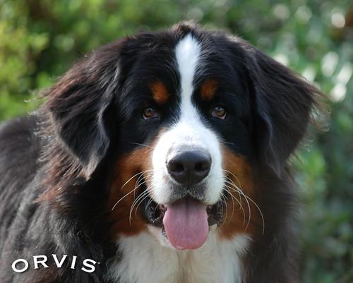 Orvis Cover Dog Contest - Fletcher