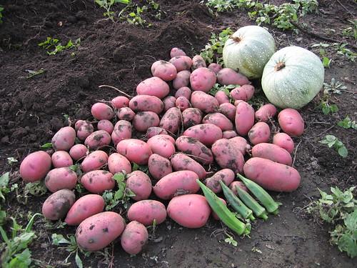 今日の収穫  2008年8月9日 by Poran111