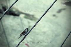 Bird on the Wire (Shahriar Xplores...) Tags: old portrait color bird beauty canon 3d interesting focus image action dream best stunning dhaka sell past quick bangladesh recent exciting gettyimages mostviewed aisa shahriar bestview awarded beautifulbird nicecolor 550d flickrriver 55250mm canon550d requesttolicense framebangladesh shahriarphotography