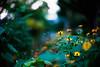 in the secret corner of September (moaan) Tags: life leica flower color green digital 50mm evening saturated flora dof bokeh dusk walk f10 utata flowering noctilux stroll hue 2010 atdusk m9 inlife leicanoctilux50mmf10 leicam9 saturatedinseptember gettyimagesjapanq1 gettyimagesjapanq2