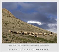 Herd and Shepherd (P A  T H A) Tags: india shepherd ladakh cokin jammukashmir e520 rumbak ladakhlandscape parthaghoshphotography