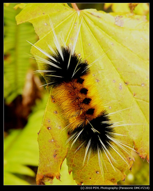 Spotted Tussock Moth Caterpillar (Lophocampa maculata)