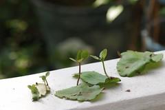 「葉から芽」から芽