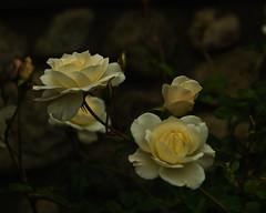 nightglowDSC_0065-copy (RedheadedWoman) Tags: california roses white glowing dreamy backlit santaana creamy heritagehouse