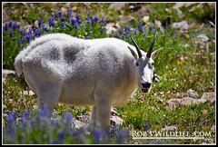 Rocky Mountain Goat-0924-W (RobsWildlife.com  TheVestGuy.com) Tags: nature canon outdoors utah wildlife hike goats backpacking mountaingoats 2010 timp canoncamera provocanyon mttimpanogos rockymountaingoats canon1dmarkiv 81510 thevestguy robdaugherty thevestguycom robswildlifecom robswildlife robswildlifecom robertdaugherty apengrove extremehike rockymtgoats
