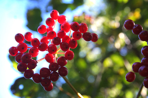 brilliant red berries