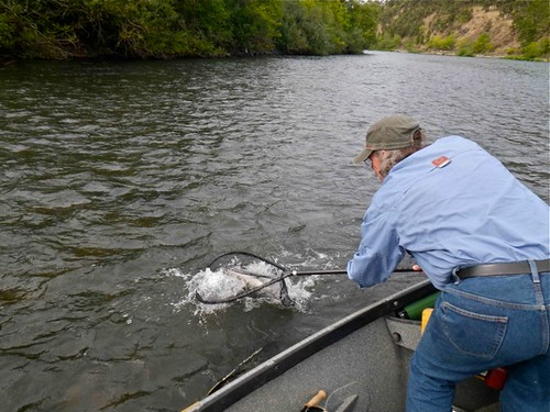 netting a willamette river steelhead