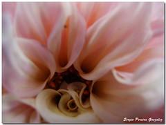 Macro Flower (sergio.pereira.gonzalez) Tags: naturaleza flower macro nature fleur photo flor canonpowershotg11 sergiopereiragonzalez