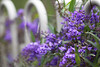 it is the perfect mix of the sensation of intrigue and the pleasure of knowledge. (The.StoryKeeper) Tags: macro adelaide hardenbergia hpps wittungabotanicgarden perfectpurplesaturday