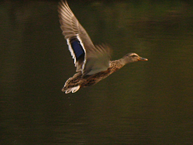 25-09-2010-flying-duck