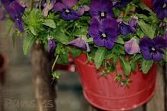 (Msjunior- slowly catching up) Tags: flowers red bucket purple textures pansies takeninavillagesomewhereinaustriaicantrememberthename cinnamontexturebykimklassen