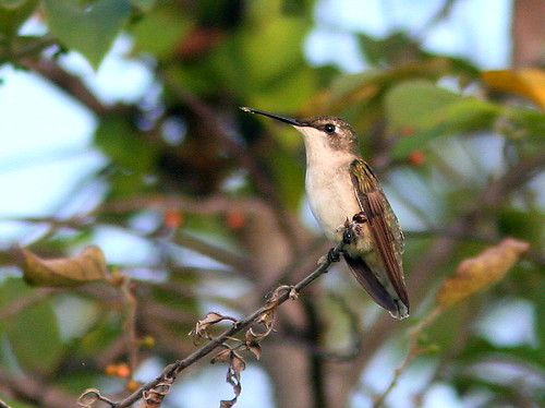 Ruby-throated hummingbird 20100926