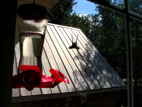 CrabAppleLane hummingbird heading back to her perch - September 26, 2010