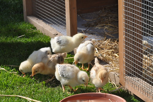 week old chicks
