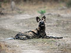 Wild Dog #3